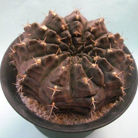 Sany0102--rotundicarpum--Piltz seed 3293