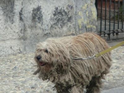 ミラノの犬くん