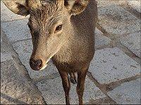 奈良公園_鹿