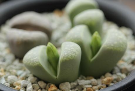 リトープス・緑繭形玉