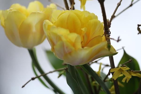 シアワセの黄色いチューリップ