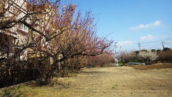 梅が咲いている