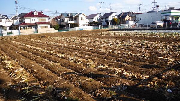 かつてのキャベツ畑