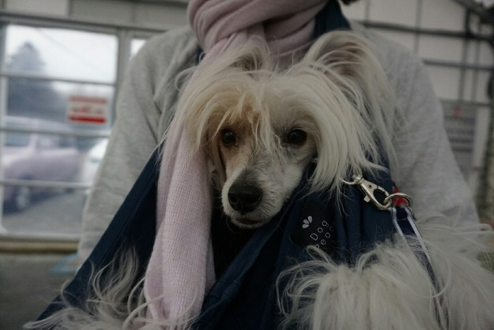 Image result for chinese crested 犬 カート