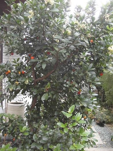 20180107_いちごの木