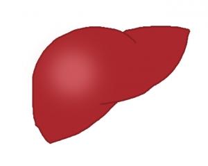 肝臓イラスト