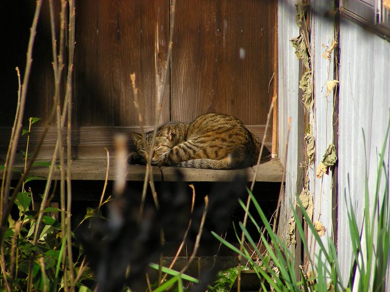 廃屋のキジトラ猫1