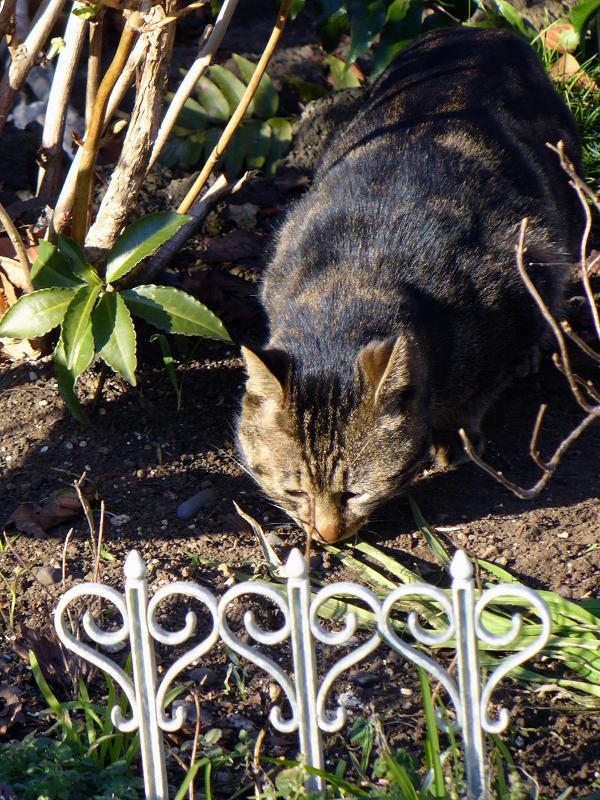 花壇でニオイを嗅いでいる猫1