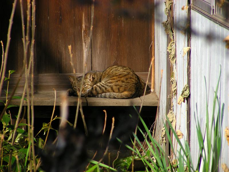 廃屋のキジトラ猫2