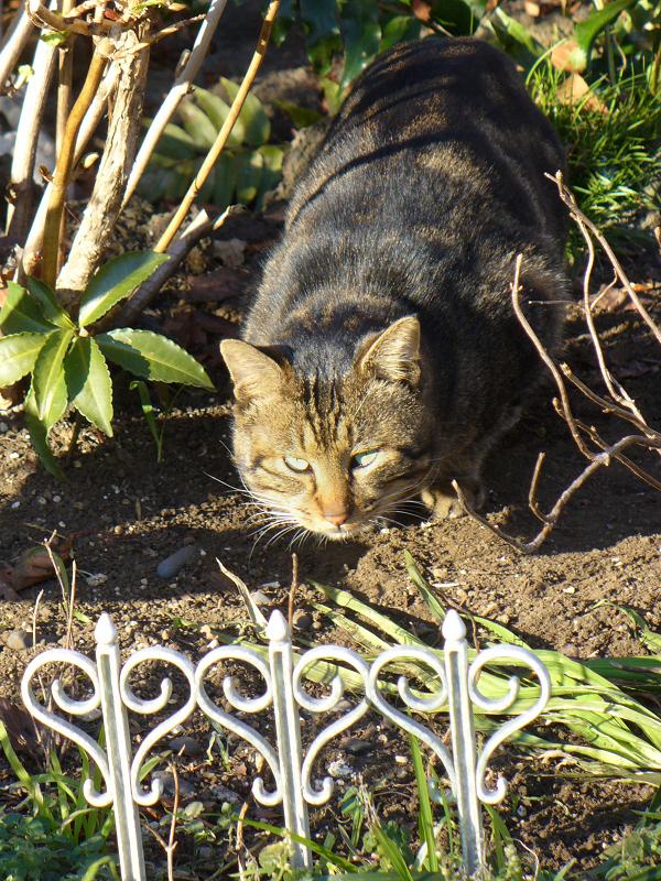 花壇でニオイを嗅いでいる猫2