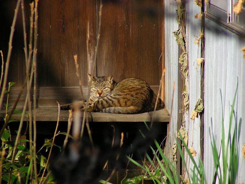 廃屋のキジトラ猫3