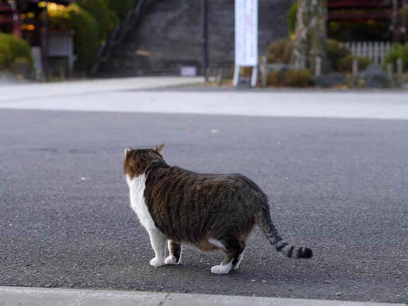 お寺境内のキジ白猫1