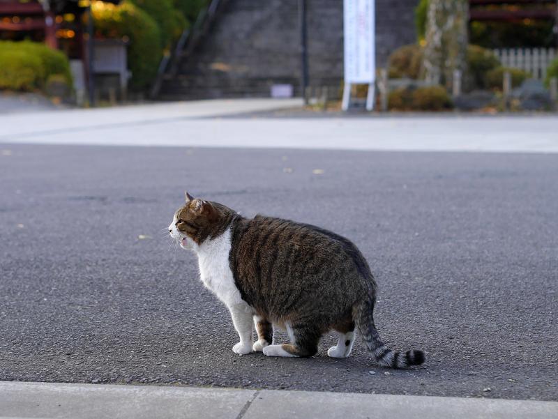 お寺境内のキジ白猫2