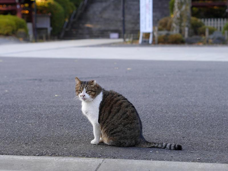 お寺境内のキジ白猫3