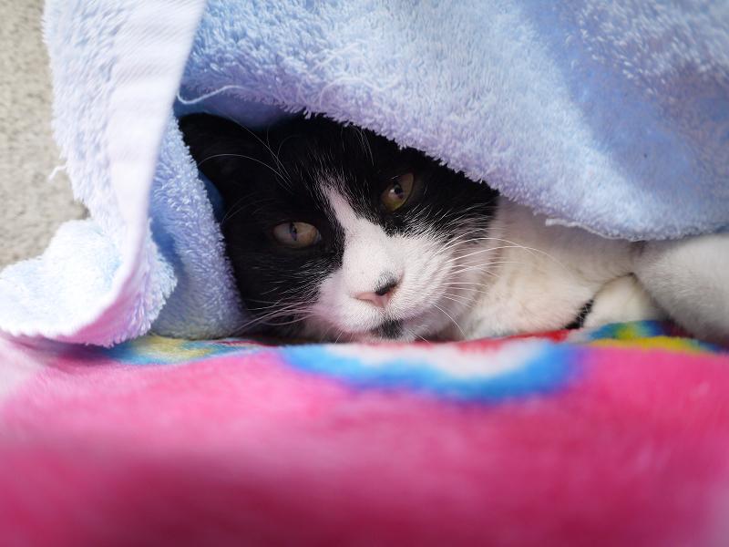 タオルに車って寝てる黒白猫2