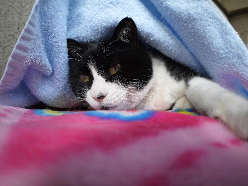 タオルに車って寝てる黒白猫3
