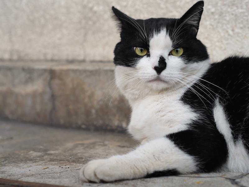 イケメン風な黒白猫