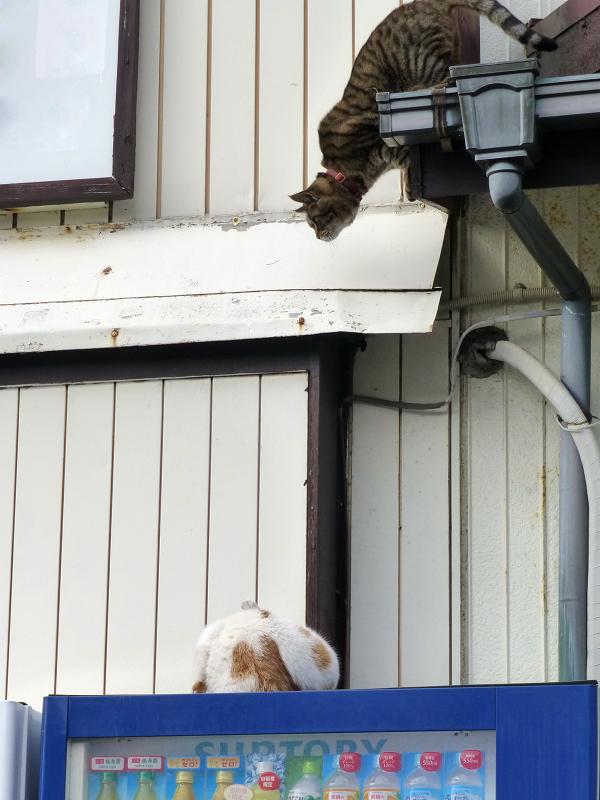 遂に飛び降りたキジトラ猫1