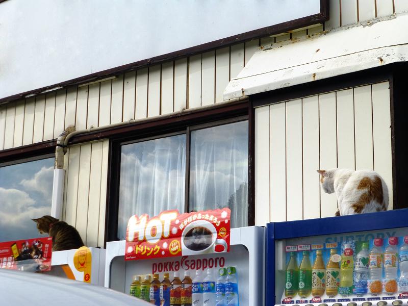 遂に飛び降りたキジトラ猫4