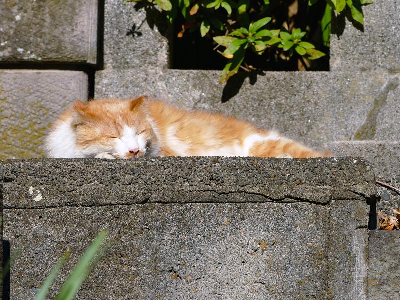 石段で寝ていた毛長の茶白猫1