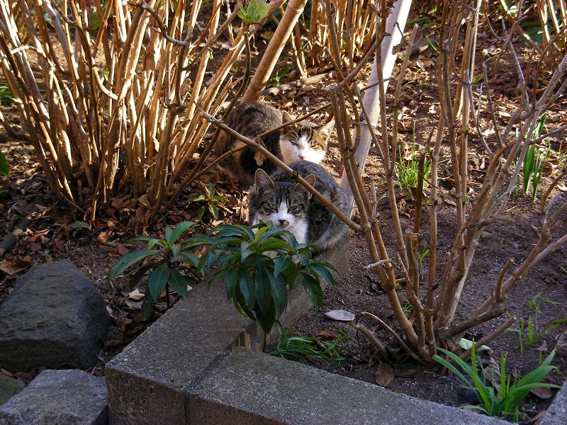 植込みから見ていた猫たち1