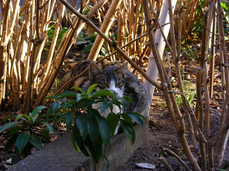 植込みから見ていた猫たち2