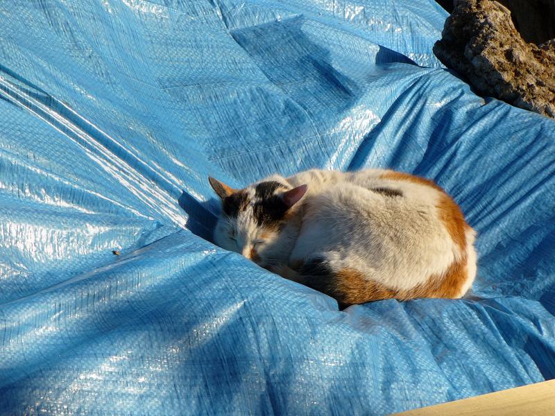 現場シートで寝てる三毛猫2