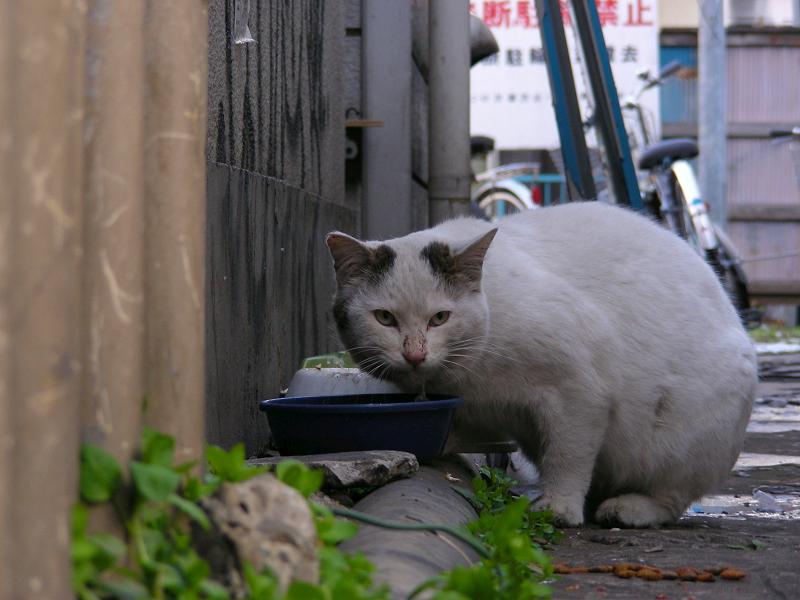 飲み屋街の白キジ猫3
