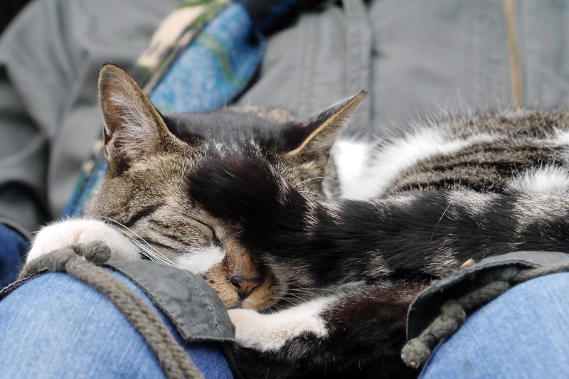 また寝ちゃったキジ白猫2