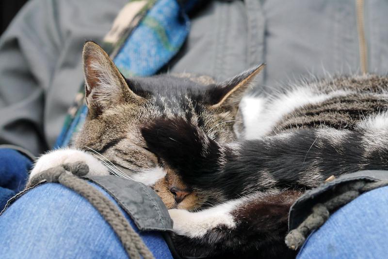 また寝ちゃったキジ白猫3