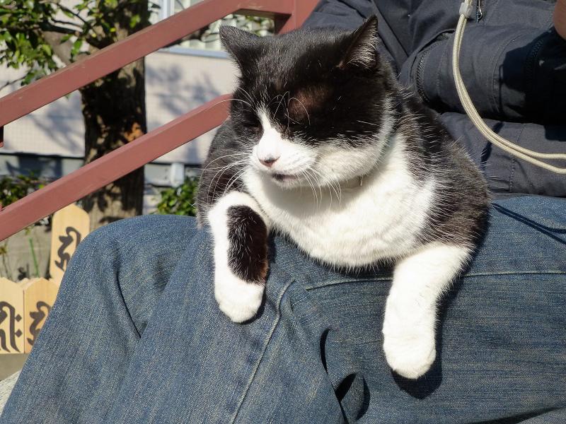 膝に乗って日向ぼっこしてる黒白猫1