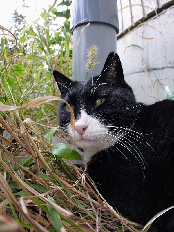 植込みで顔を上げた黒白猫1