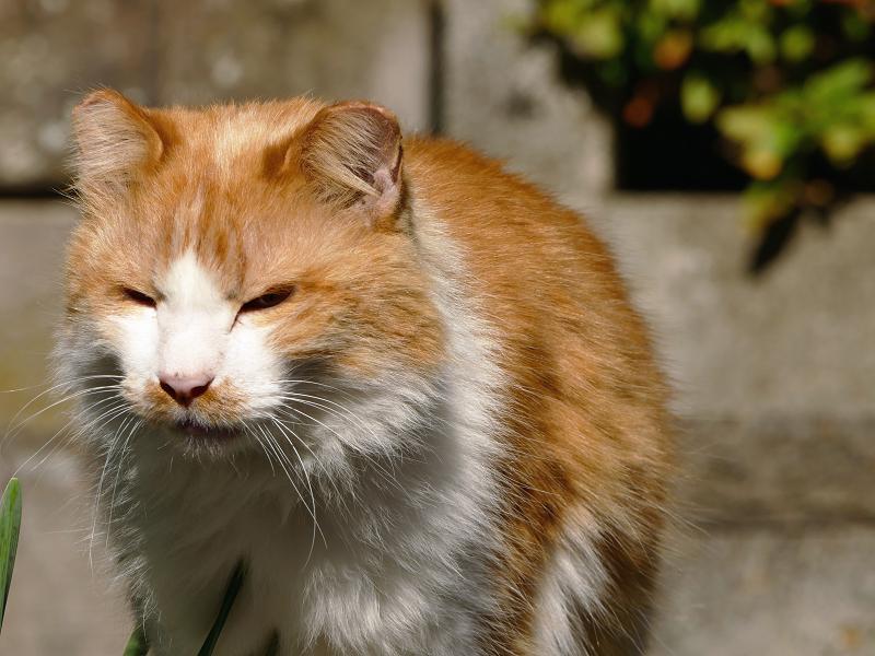 近寄りながら鳴いた毛長の茶白猫1