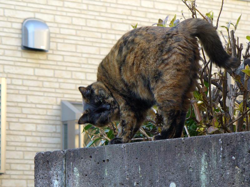 ブロック塀上で伸びをするサビ柄猫1