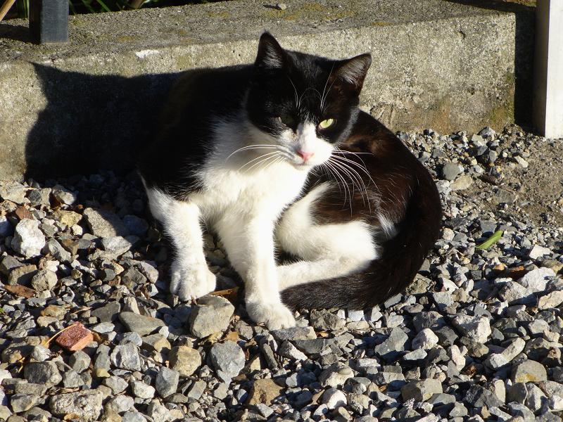 ムクッと起き上がった黒白猫1