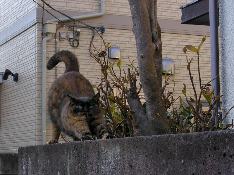 ブロック塀上で伸びをするサビ柄猫2