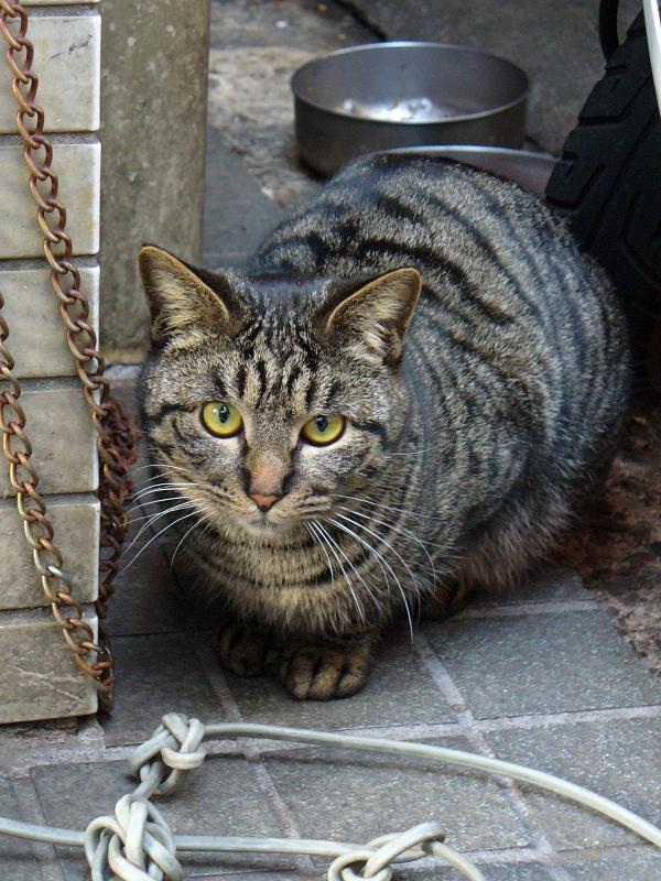 店先のキジトラ猫2