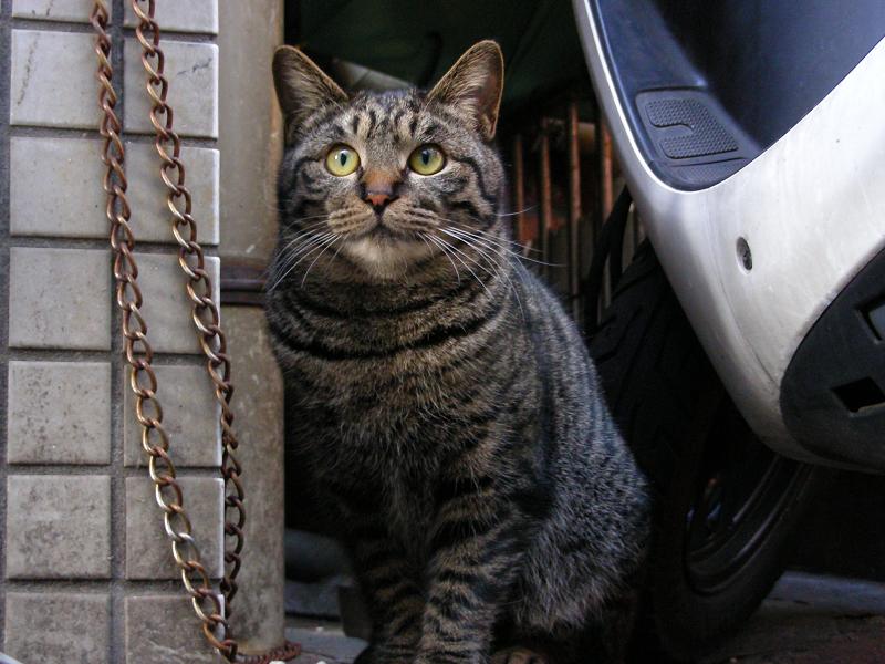店先のキジトラ猫3