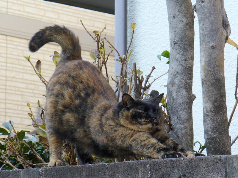 ブロック塀上で伸びをするサビ柄猫3
