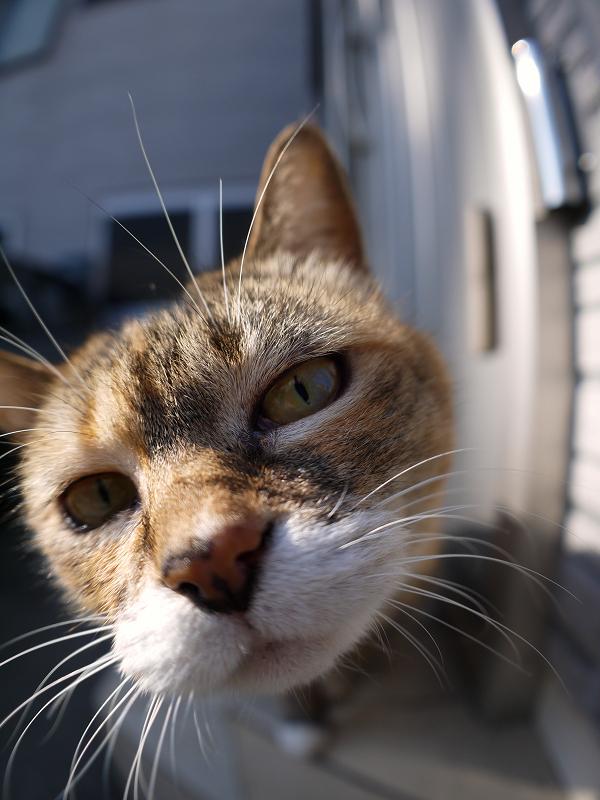 魚眼レンズを覗き込む三毛猫1
