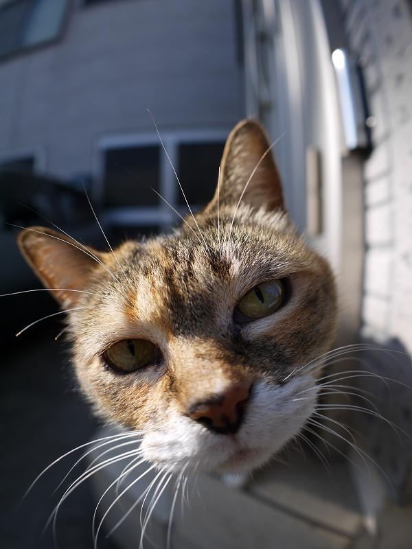 魚眼レンズを覗き込む三毛猫2