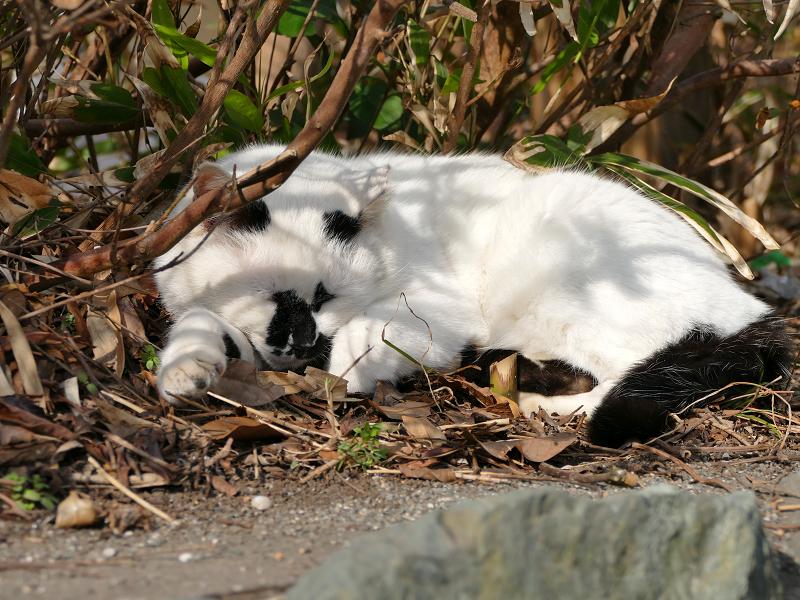植込み前で寝ている白黒猫2