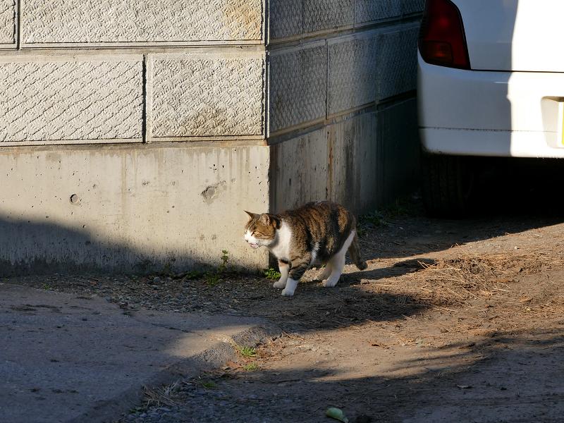 驚いて逃げるキジ白猫1