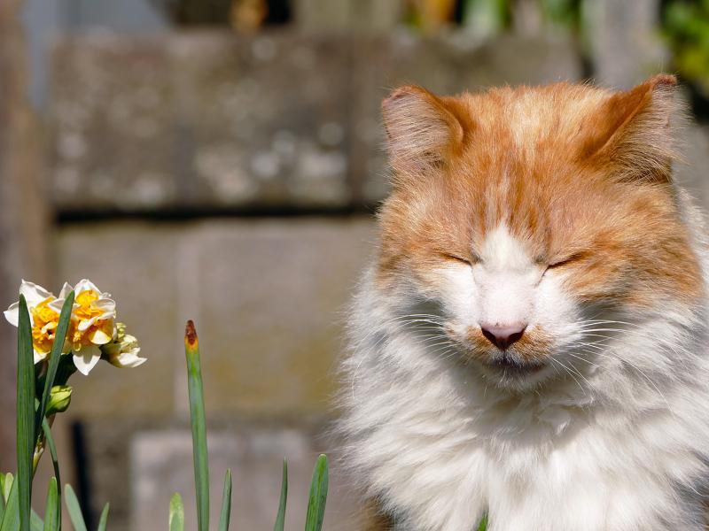 近づいて鳴きまくる毛長の茶白猫3