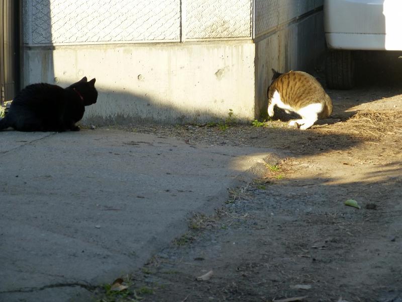 驚いて逃げるキジ白猫2