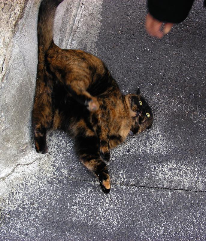 塀の下で転がったサビ柄猫1
