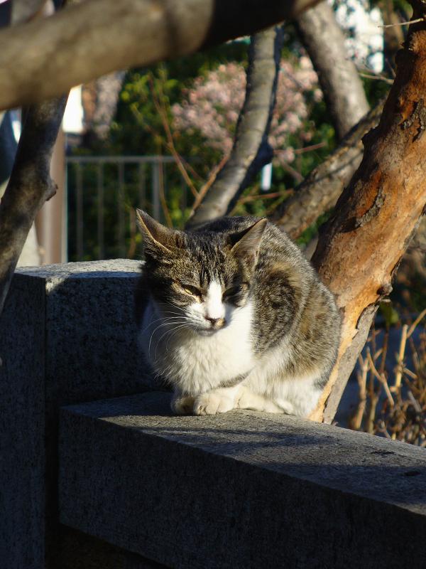 玉垣に乗って睨むキジ白猫1