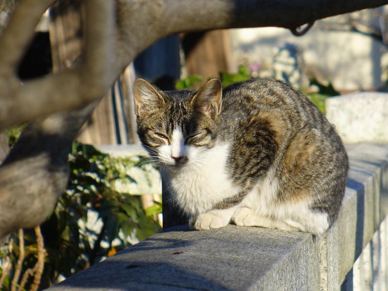 玉垣に乗って睨むキジ白猫2
