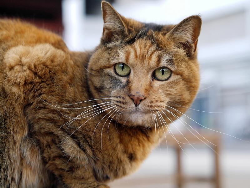 ベンチに乗ってるサビ柄猫1