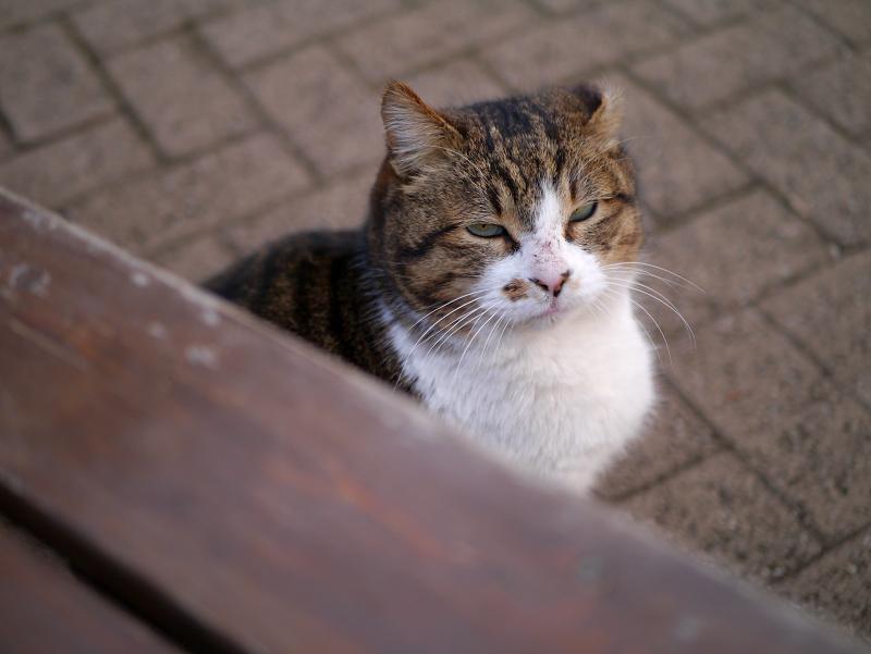 ベンチの下から睨んでるキジ白猫